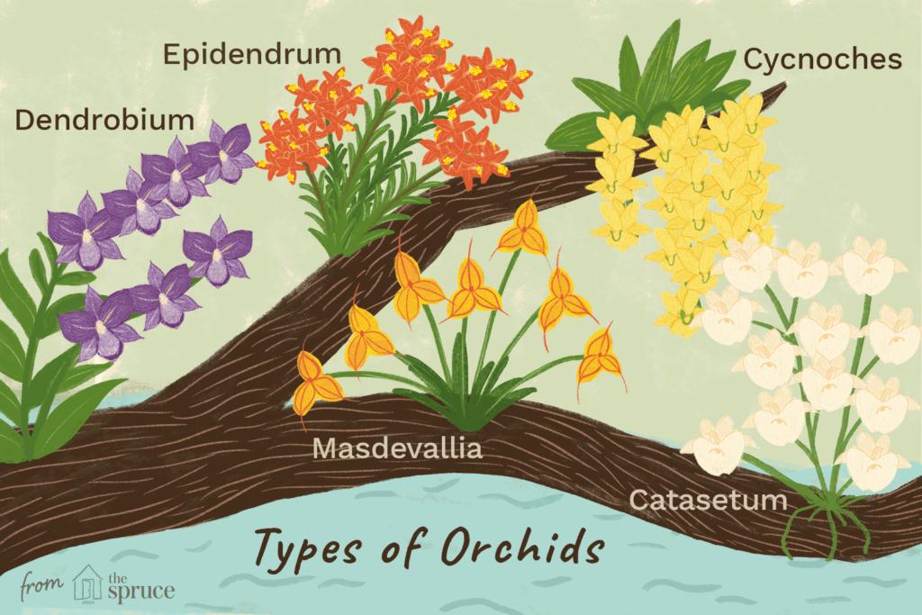 como identificar as vários tipos de orquídeas